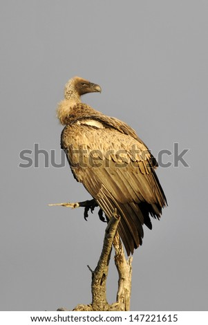 Hooded Vulture - stock photo
