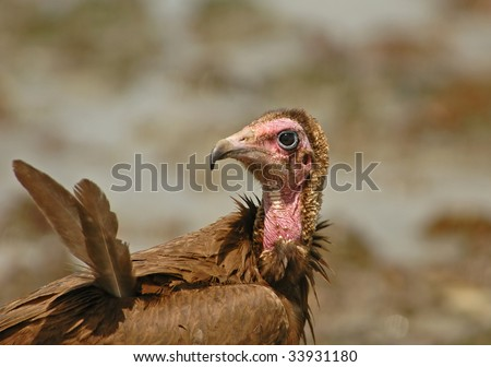 Hooded Vulture close-up - stock photo