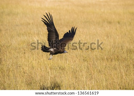 Hooded Vulture in flight, Africa - stock photo