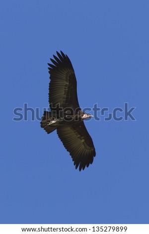 Hooded Vulture in flight, Kenya, Africa. - stock photo