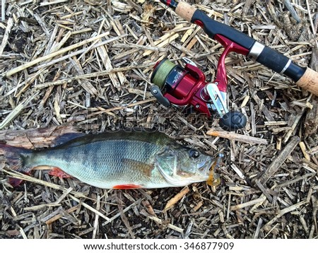 hooked Perch - stock photo