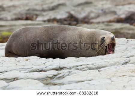Hooker's Seal Lion - stock photo