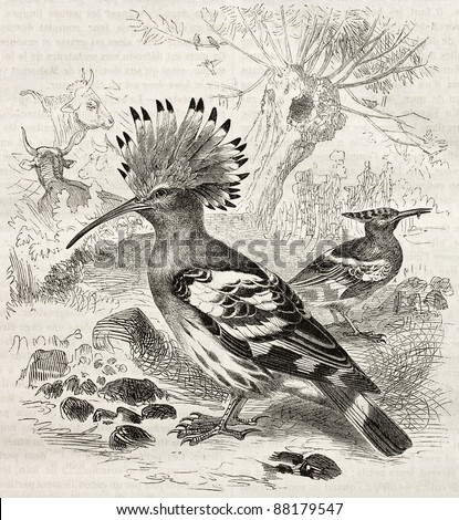 Hoopoe old illustration (Upupa Epops). Created by Kretschmer and Schmid, published on Merveilles de la Nature, Bailliere et fils, Paris, ca. 1878 - stock photo