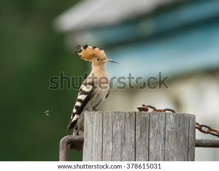 Hoopoe on the well in village