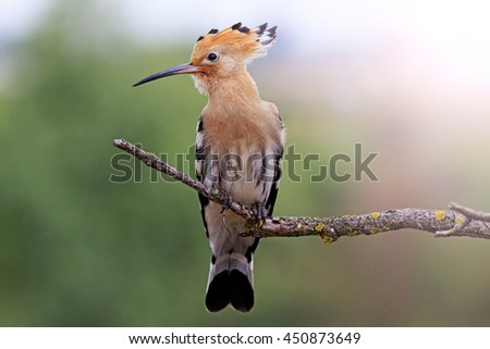 hoopoe sitting on a dry branch with sunny hotspot - stock photo