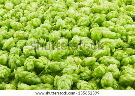 Hop cones and leaves as a green background