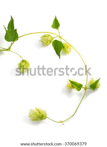 hop cones isolated on white background - stock photo