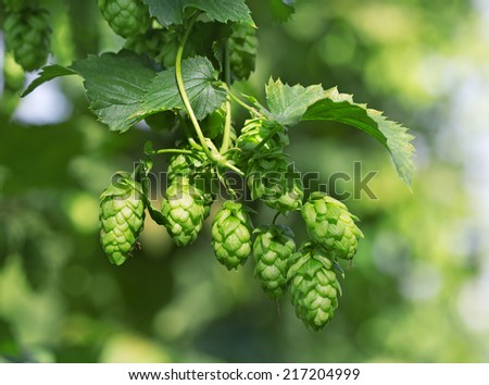 Hop cones on the hop plantation for beer production - stock photo