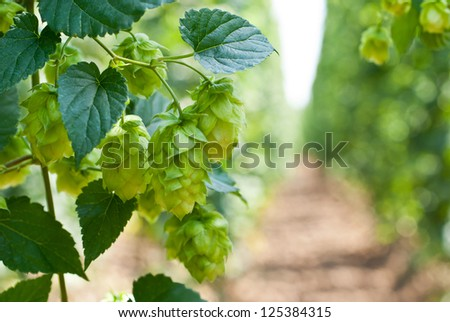 hop cones - raw material for beer production,
