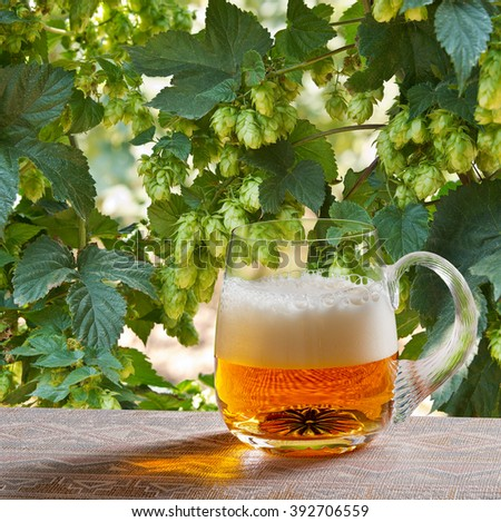 hop cones with glass of beer in the hop field