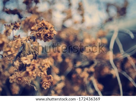 hop flower in the autumn - stock photo