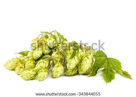 Hop isolated on white background. - stock photo