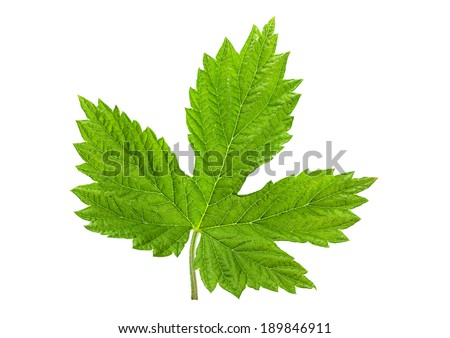 Hop leaf closeup isolated on white