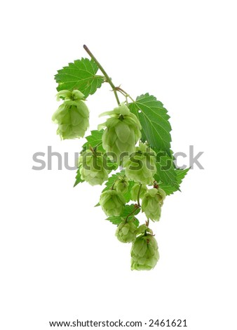 Hop. White background. It is isolated.
