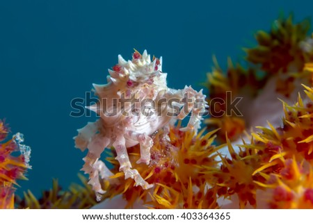 Hoplophrys oatesi also known as the candy crab, Oates's soft coral crab, commensal soft coral crab and Dendronephthya crab - stock photo