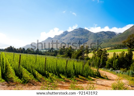hops field in George, South Africa - stock photo
