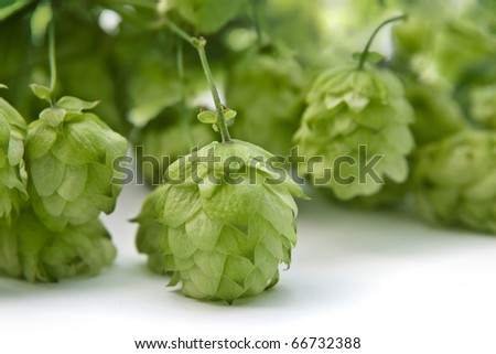 Hops ingredient of  beer