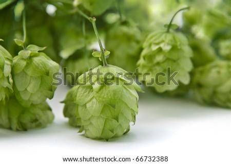 Hops ingredient of  beer - stock photo