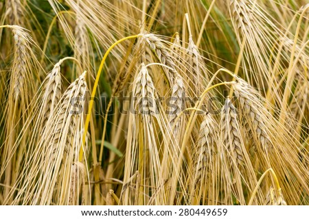 Hordeum vulgare, Common Barley plant in summer, Germany - stock photo