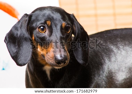 horisontal closeup portrait of beautiful dachshund on light brown background