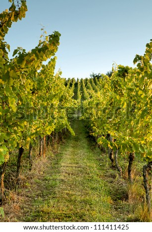 Horizon over endless vines in a row growing in the Alsace region of France - stock photo