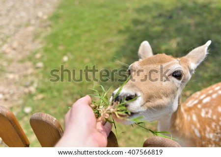 horizontal close up image of a hand feeding a baby deer some grass over a fence of a park or a zoo in the spring - stock photo