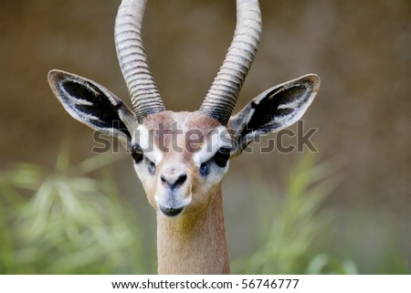 Horizontal close up image of a male gerenuk, an African antelope.
