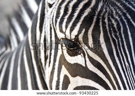 Horizontal close up image of a zebra - stock photo