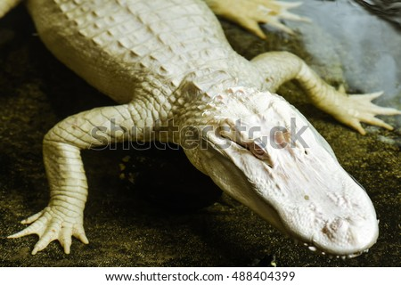 Horizontal, close up shot of an albino American Alligator. This was shot in a swamp in Florida where alligators are common.