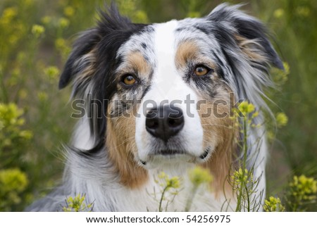 Horizontal closeup headshot of a blue merle Australian Shepherd in a field of yellow flowers.  Sharp focus on eyes, shallow depth of field. - stock photo