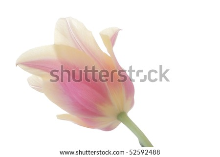 Horizontal high key image of a pink and yellow tulip featuring the stem side and backs of petals, backlit to show petal details, against a high-key white background. - stock photo
