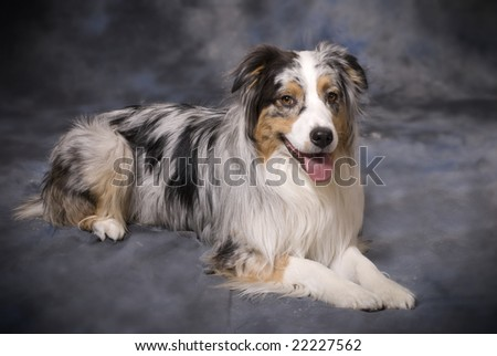 Horizontal image of a beautiful purebred Blue Merle Australian Shepherd on a mottled blue and grey background. - stock photo