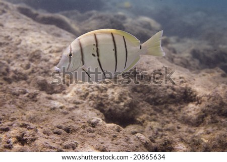 Convict Tang Hawaii a Convict Tang Stock