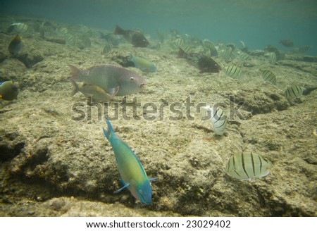 Convict Tang Hawaii With Convict Tangs And a