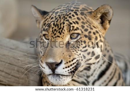Horizontal image of a jaguar's face. - stock photo