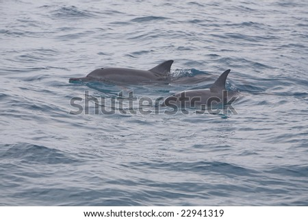 Horizontal image of a pair of pacific spinner dolphins at the surface of the water.