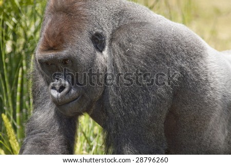 Horizontal image of a silverback lowland gorilla in a zoo.