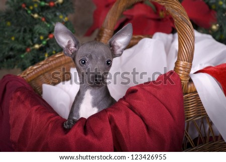 Horizontal image of a six month old blue Chihuahua puppy in a basket with Christmas tree and poinsettias in the background.