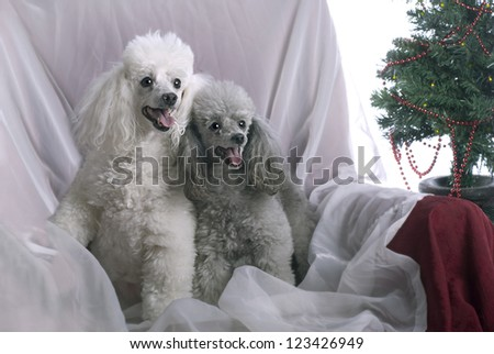 Horizontal image of a white poodle and a silver poodle in a high key studio setting with a Christmas theme.