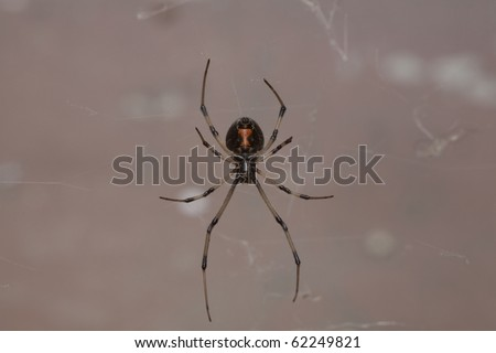 Horizontal image of an immature female Western Black Widow spider. - stock photo