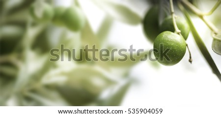 Horizontal image of an olive tree branch, with blurry leaves on the left.