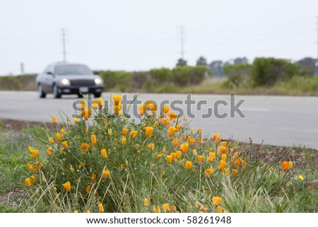 Horizontal image of California Poppies adjacent to a road with a car driving by, and power-lines visible in the background. - stock photo