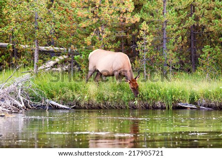 Horizontal image of large healthy mature female elk cow grazing next to the Madison River during an insect hatch with woods in background  - stock photo
