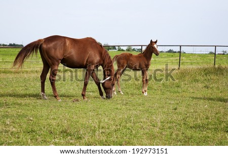 Horizontal image of two horses mare and foal playing in the meadow. Chestnut thoroughbred horses - stock photo