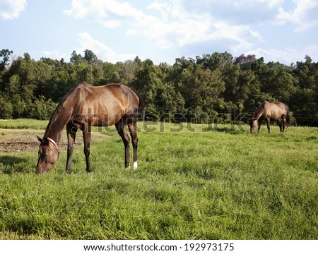 horizontal image of two thoroughbred horses eating on a green meadow. Chestnut thoroughbred horses - stock photo
