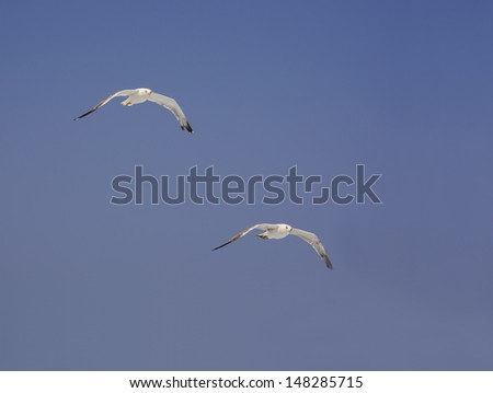 Horizontal image with two Mediterranean seagulls soaring on blue sky. Eye contact, Cape Formentor. - stock photo