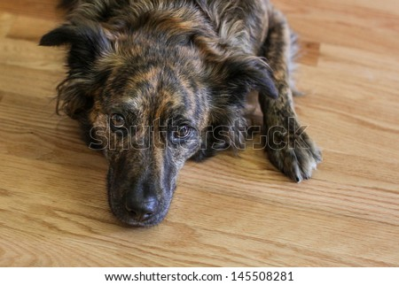 horizontal orientation close up of a black and brown dog laying on a wood floor with copy space / Time for a Walk? - stock photo