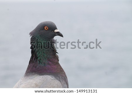 horizontal orientation close up of a single pigeon with shallow depth of field and lots of copy space / Pretty Pigeon Profile - stock photo
