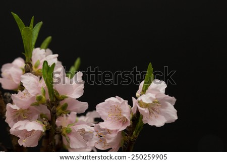 horizontal orientation close up of lovely, delicate peach blossoms isolated on a black background, with copy space / Peach Blossoms in Spring - stock photo