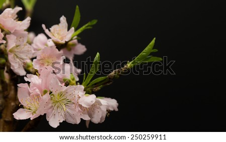horizontal orientation close up of lovely, delicate peach blossoms isolated on a black background, with copy space / Peach Blossoms isolated on Black Background - stock photo